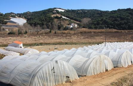 Hivernacle de cultiu de la maduixa de Sant Cebrià de Vallalta